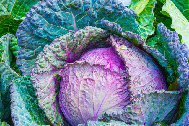 cabbage useful health